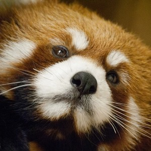 Red-Panda-Face-square