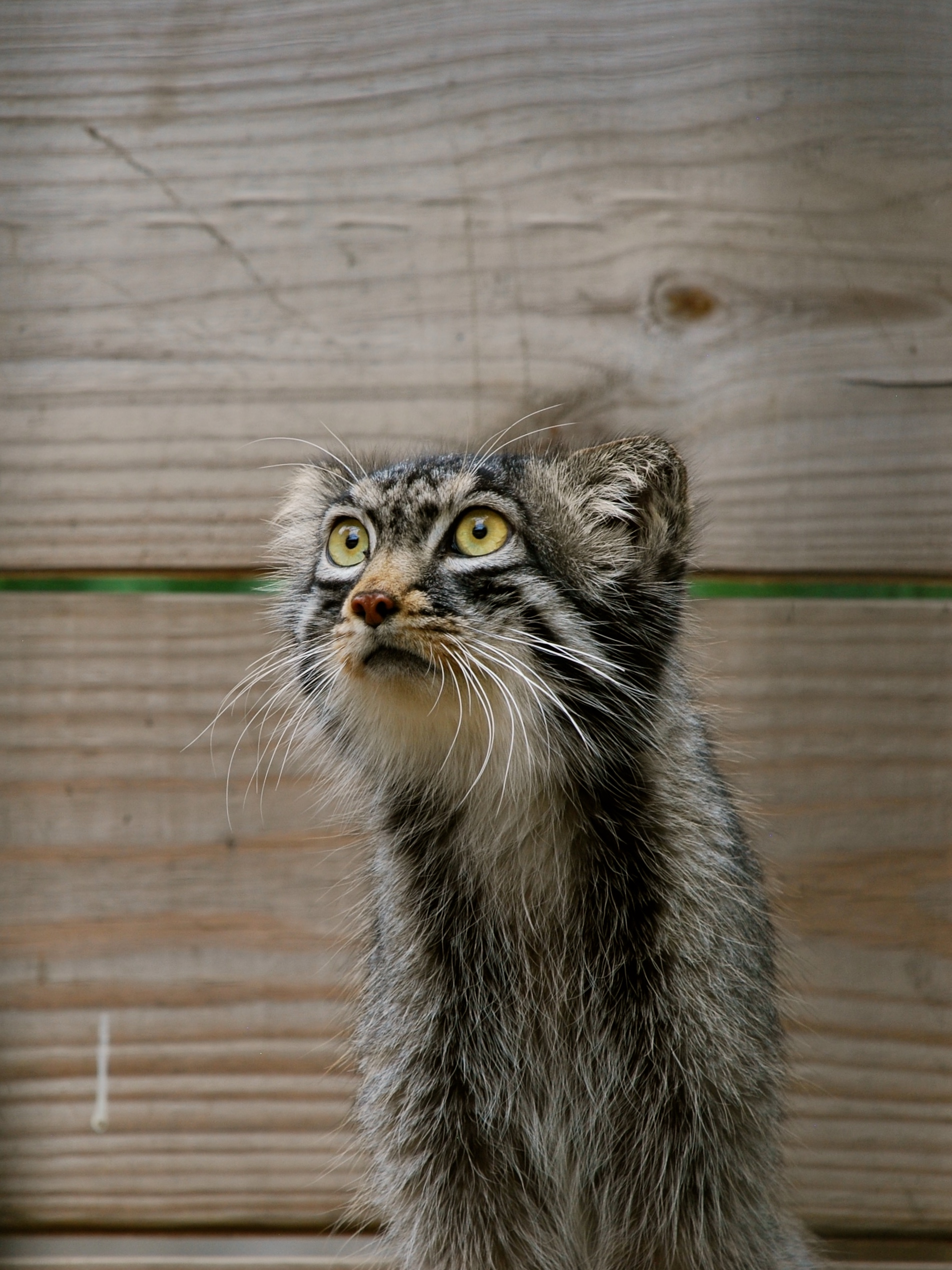 The red river zoo welcomes new pallas cat from japan pallas cat publicscrutiny Images