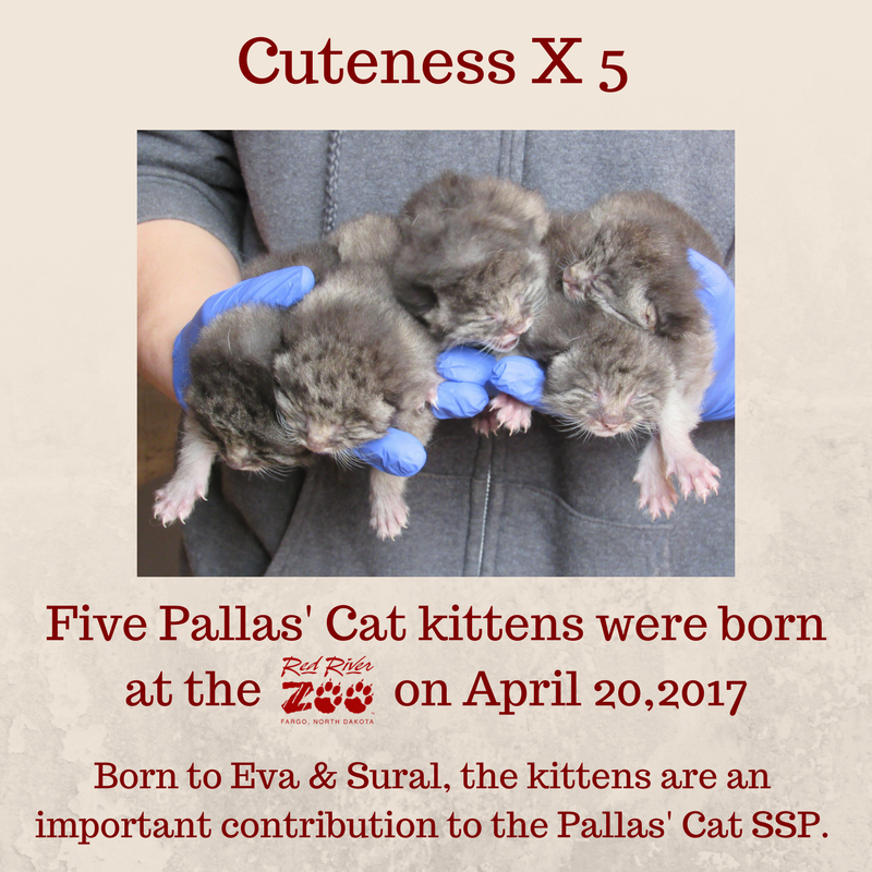 Five Pallas' Cat kittens were born at the Red River Zoo on April 20, 2017