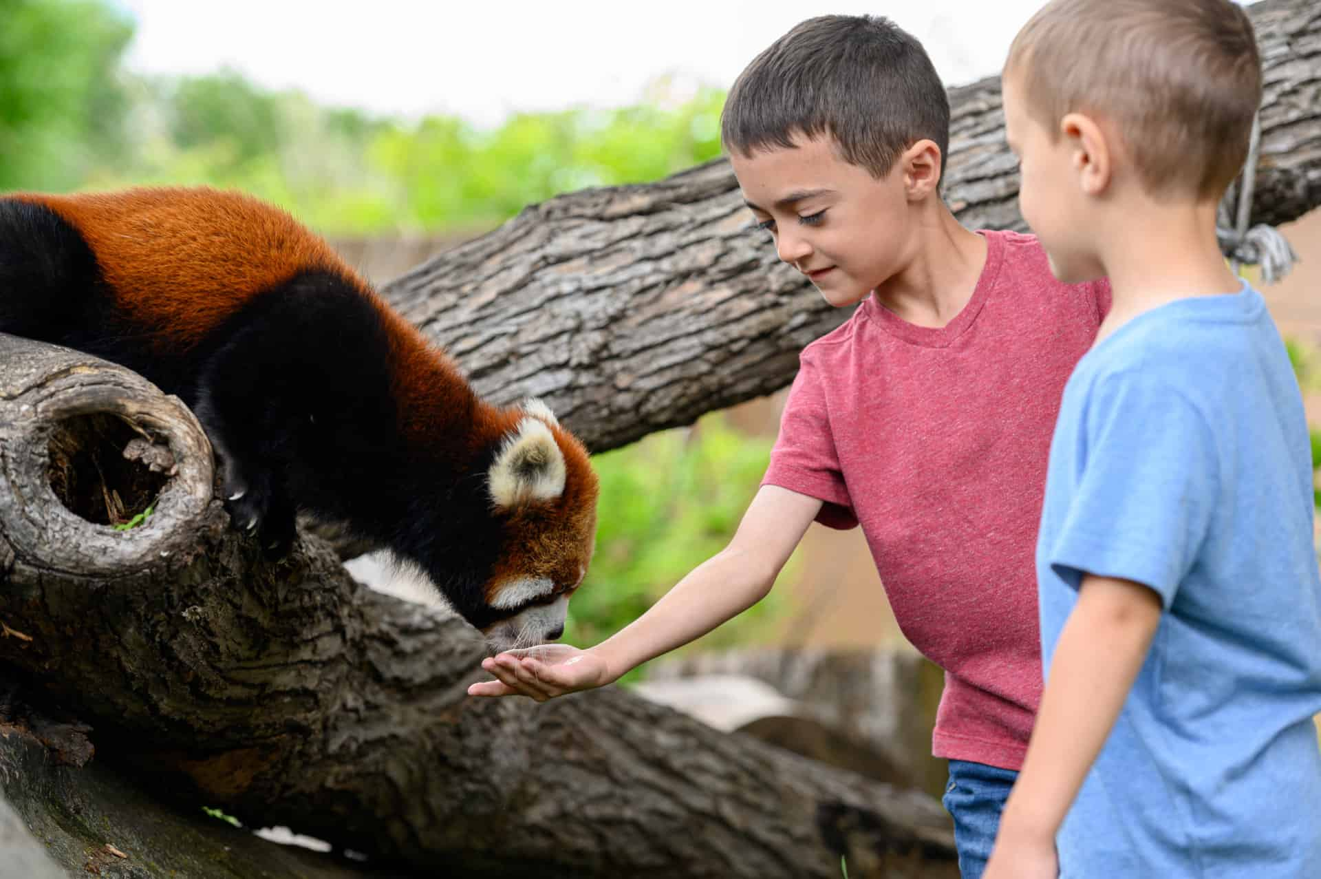 youth feeding a red panda